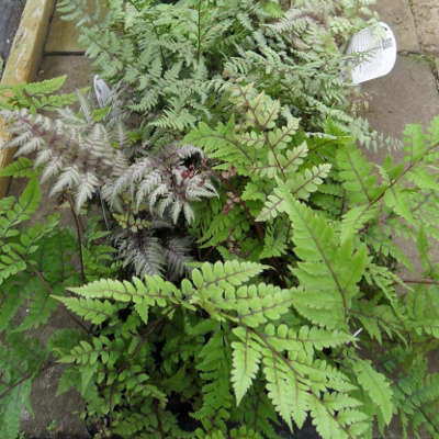 a selection of ferns