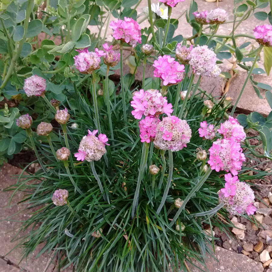 armeria maritima pink sea thrift flowering