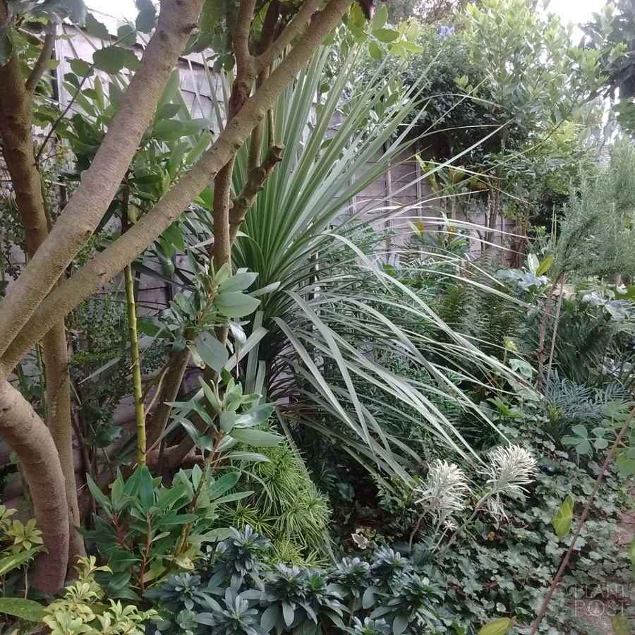 tropical looking cordyline