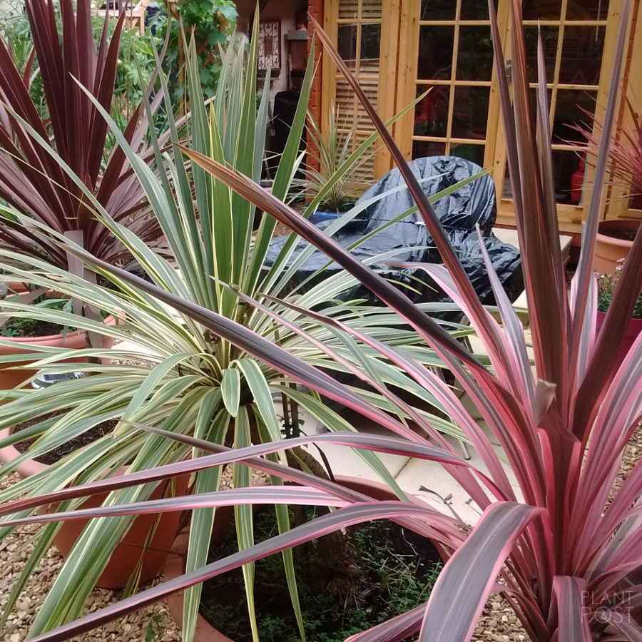 colourful cordyline growing in pots