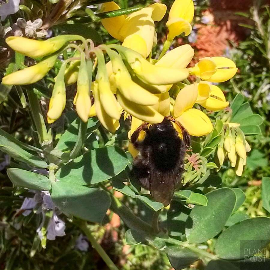 coronilla bee friendly