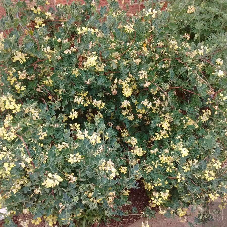 Coronilla citrina may flowers
