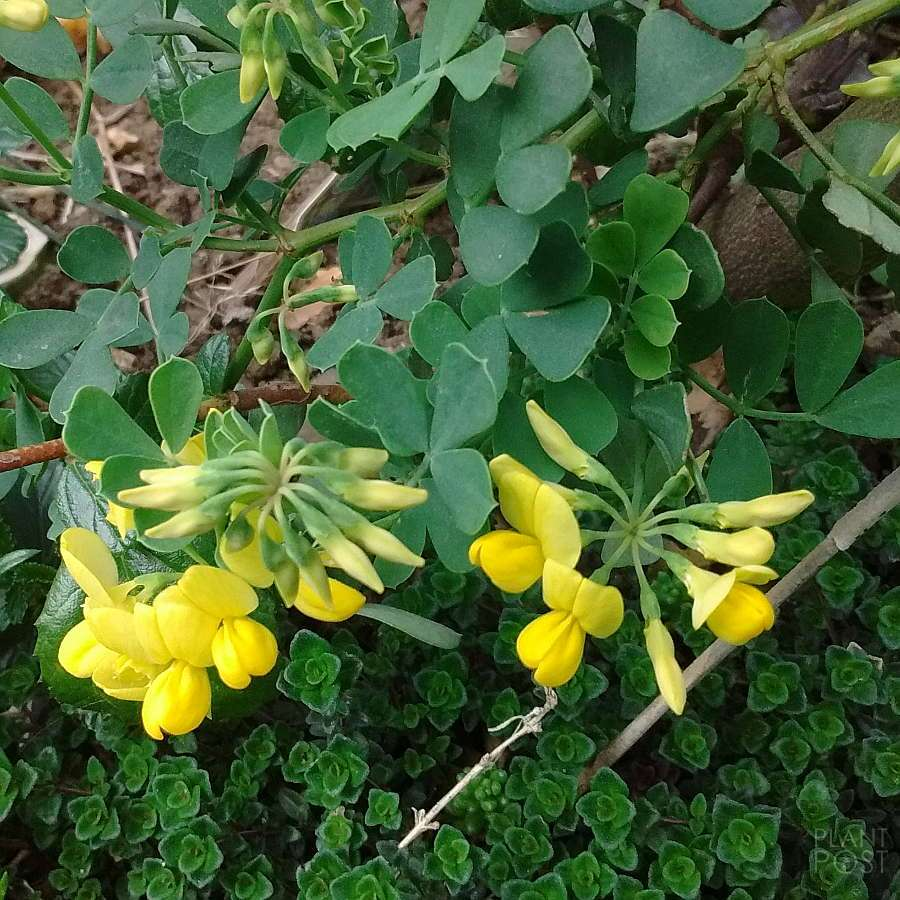 Coronilla glauca bright yellow flowers
