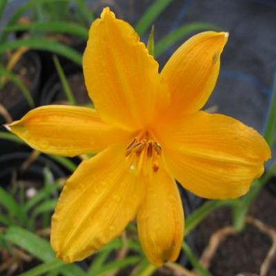 Hemerocallis 'Earlianna'