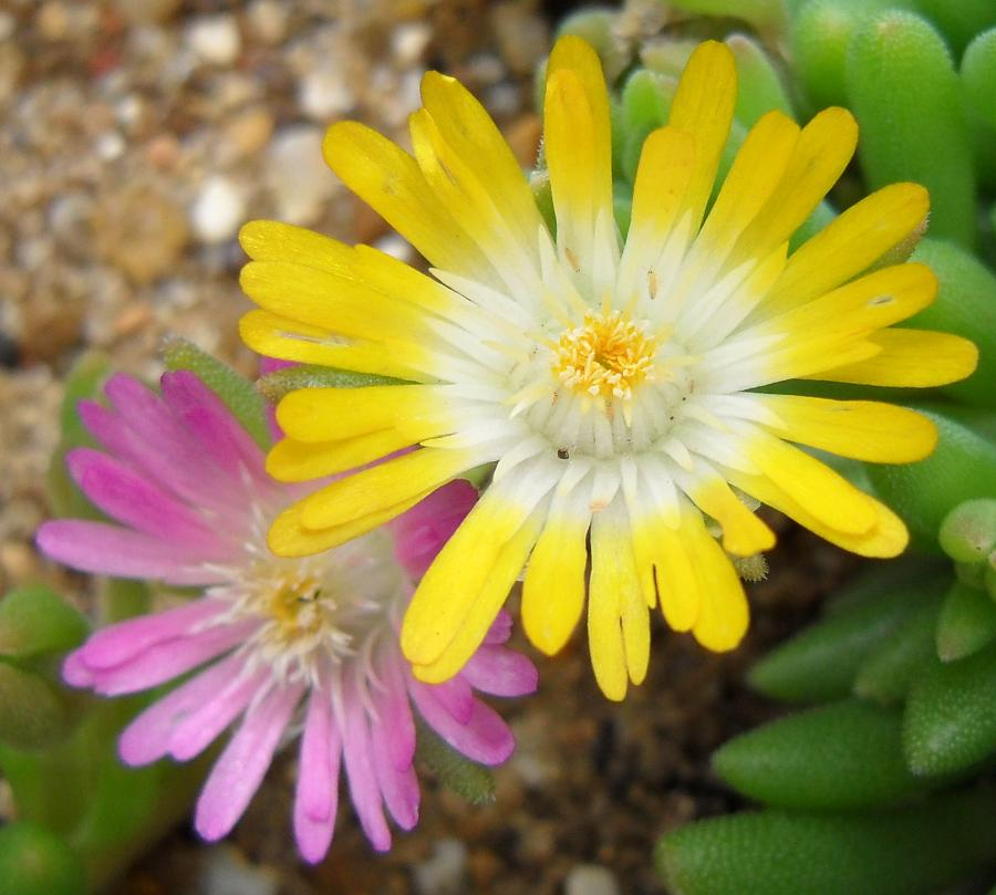 yellow and pink delosperma flowers