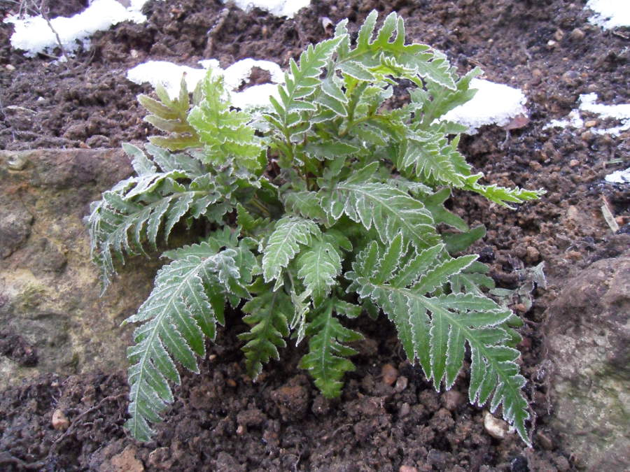 giant chain fern evergreen in winter snow