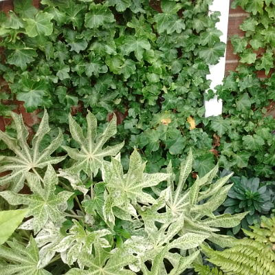 hedera helix parsley crested north facing wall with fatsia and euphorbia