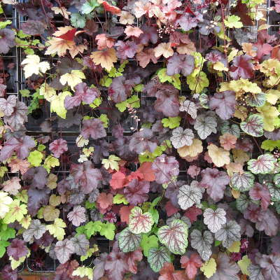heuchera green wall