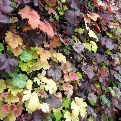 living heuchera heucherella green wall
