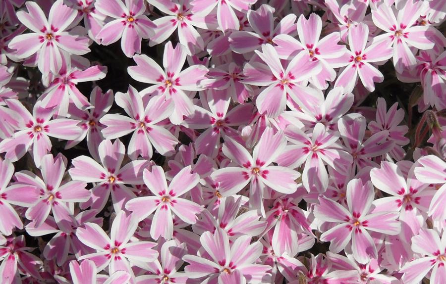 pink and white stripe flowers of phlox subulata