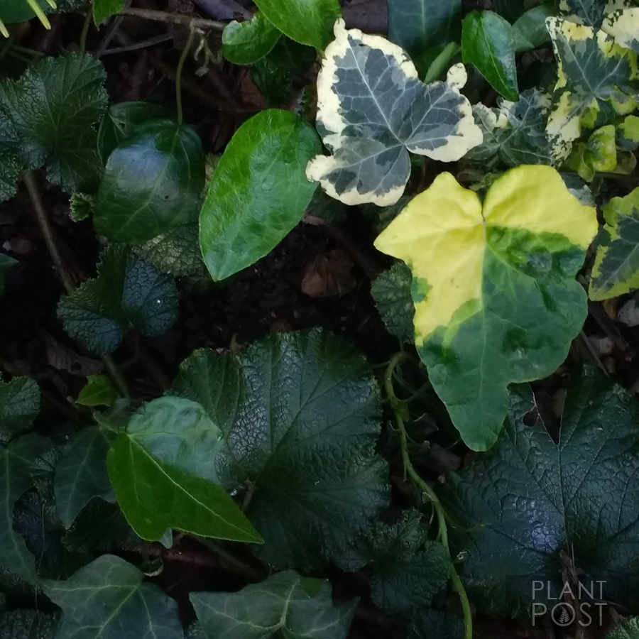 rubus tricolor, bramble, ivy in shade