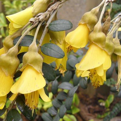 Tropical plants you can use to create a uk hardy exotic paradise sophora microphylla sun king hilsop mightylinksfo