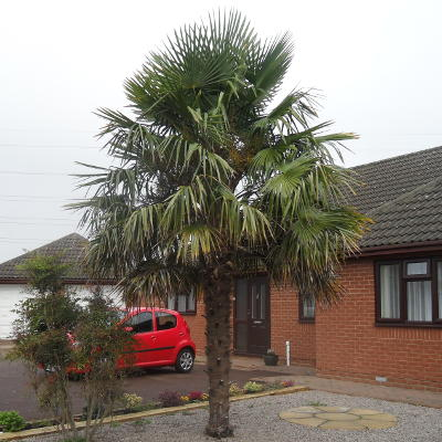 Mature palm trees for sale something