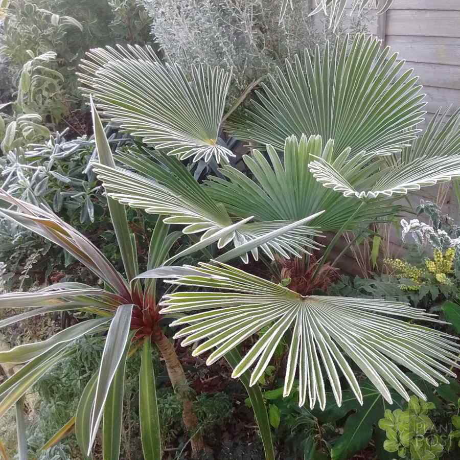 trachycarpus wagnerianus frosted